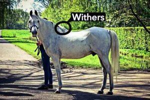 Hauteur et garrot des poneys par rapport aux chevaux