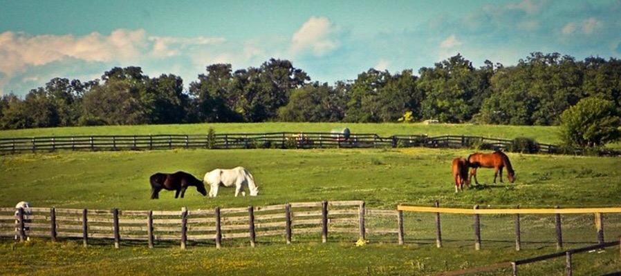 Horses Grazing in Paddocks